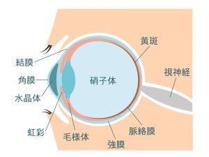 眼の構造イラスト