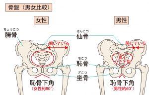 男女の骨盤の違い