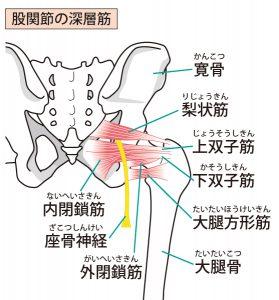 骨盤周囲のインナーマッスル