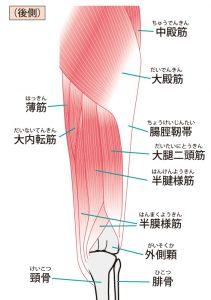 膝周辺の筋肉